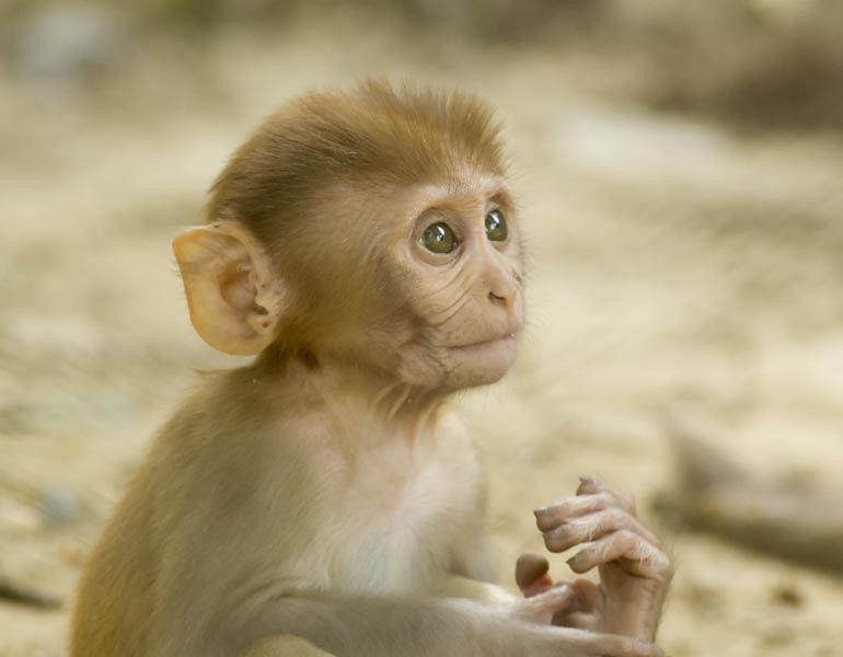 Rhesus makaak
