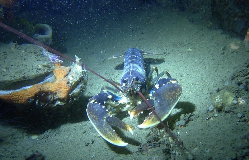 Europese zeekreeft