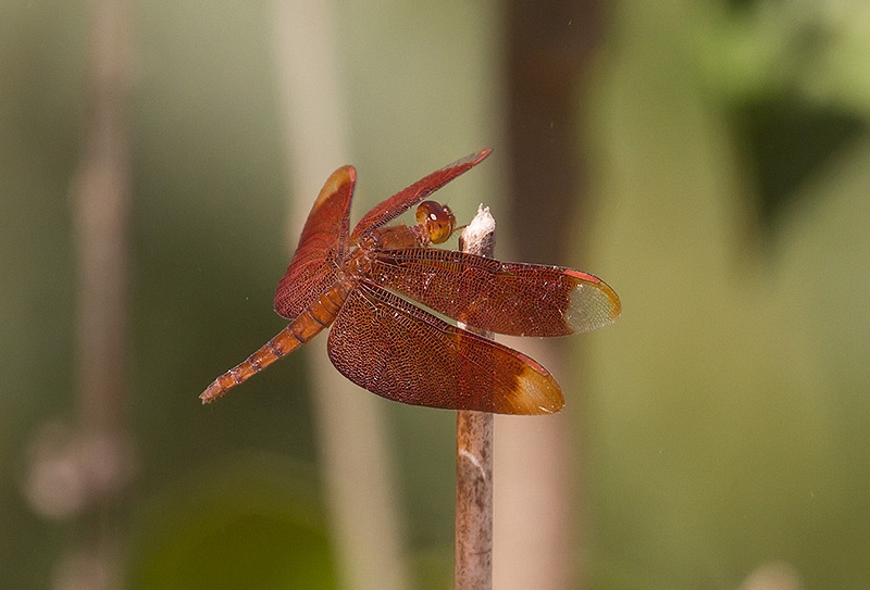 Fulvous Forest Skimmer