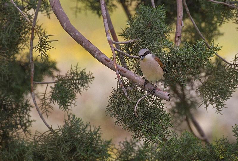 Grauwe Klauwier