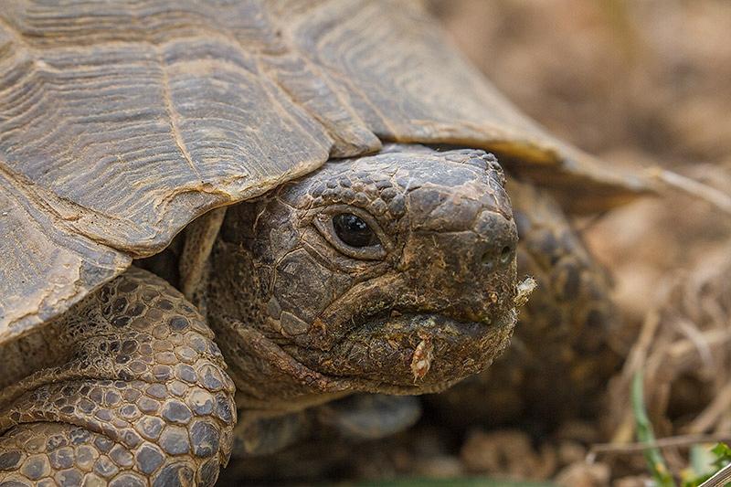 Moorse Landschildpad