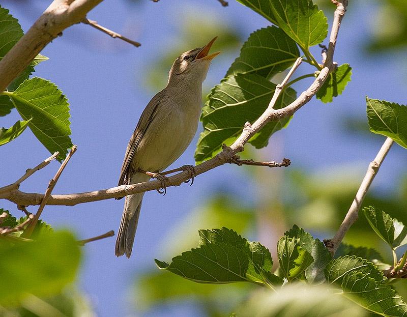 Grote Vale Spotvogel