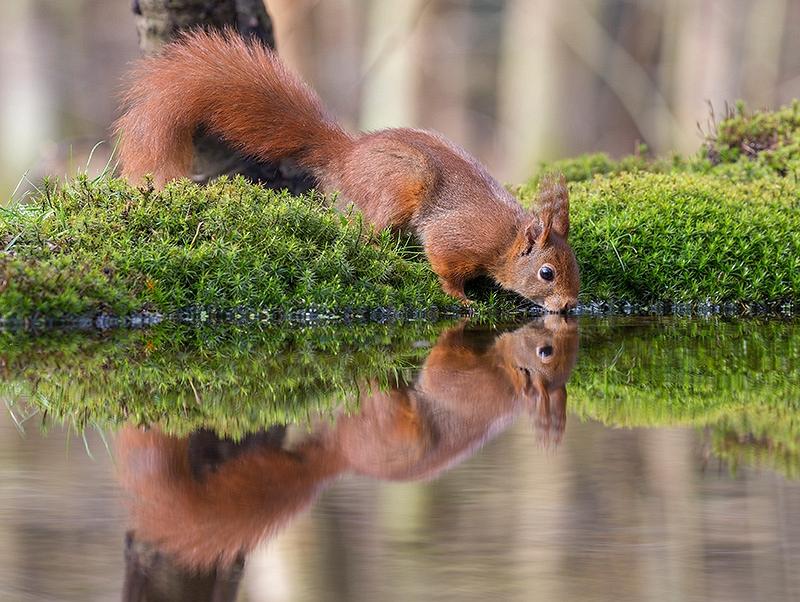 Rode Eekhoorn