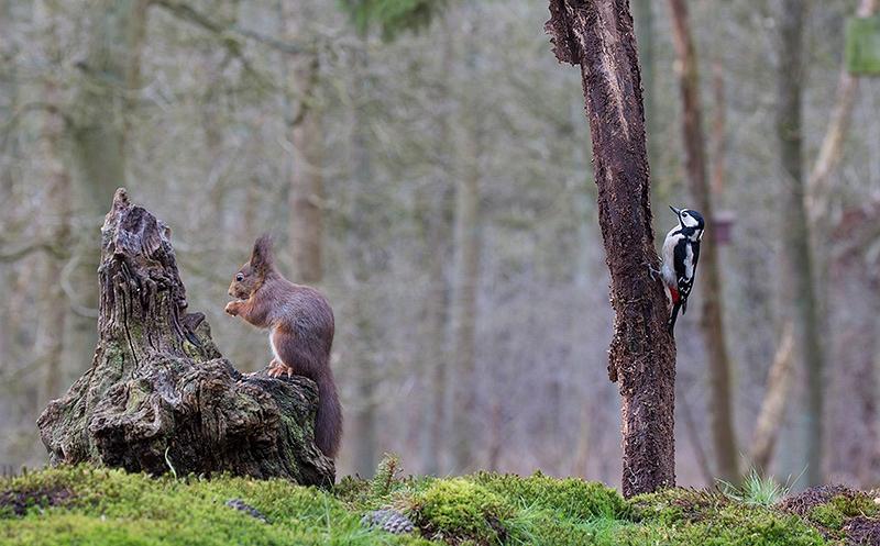 Rode Eekhoorn en Grote Bonte Specht
