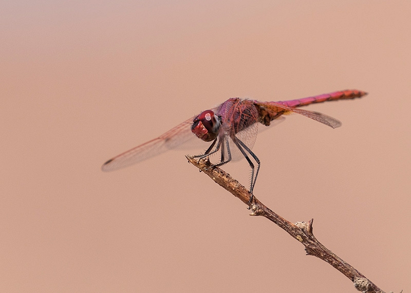 Purperlibel
