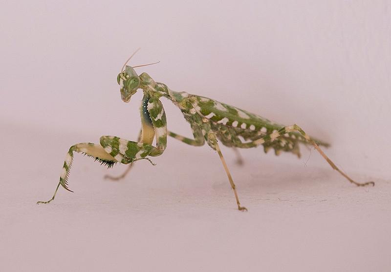 Thistle mantis