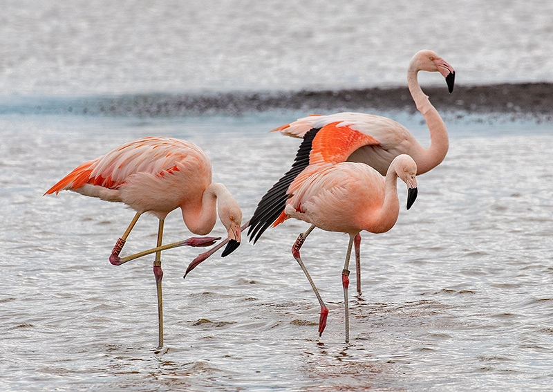 Chileense flamingo