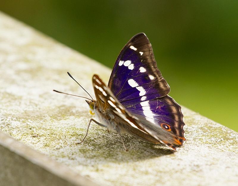 Grote Weerschijnvlinder