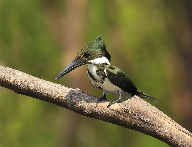 Amazone IJsvogel