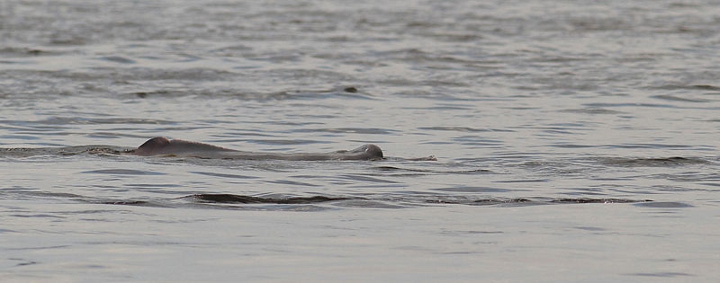 Amazonedolfijn