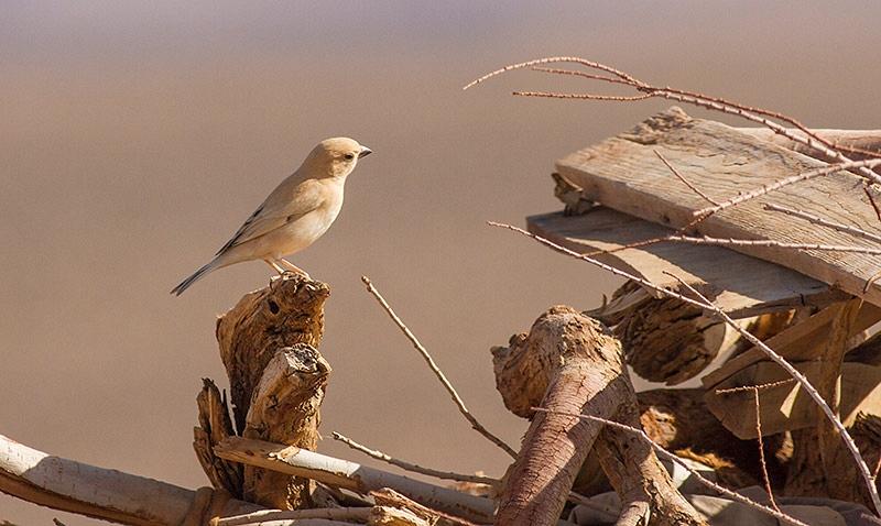 Woestijnmus