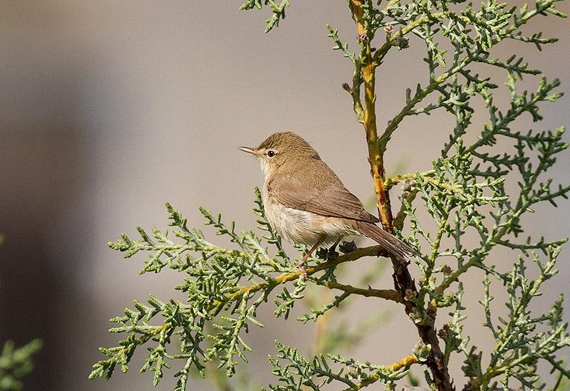 Oostelijke Vale Spotvogel