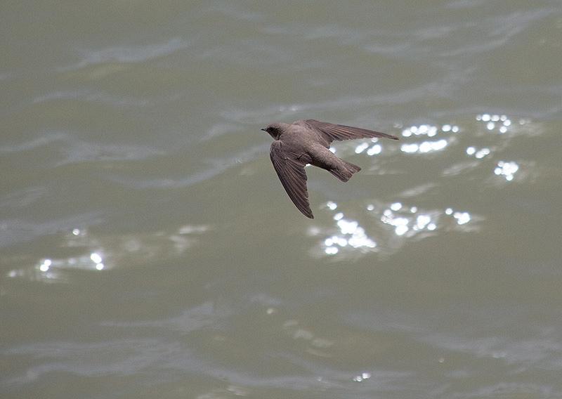 Rotszwaluw