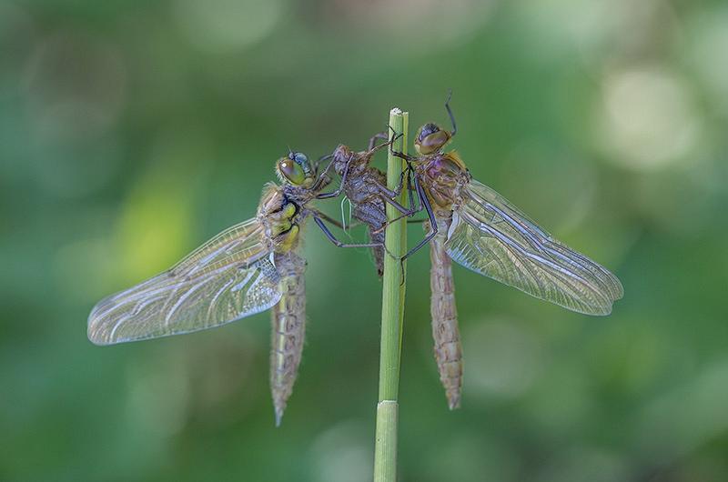 Viervlek en Smaragdlibel