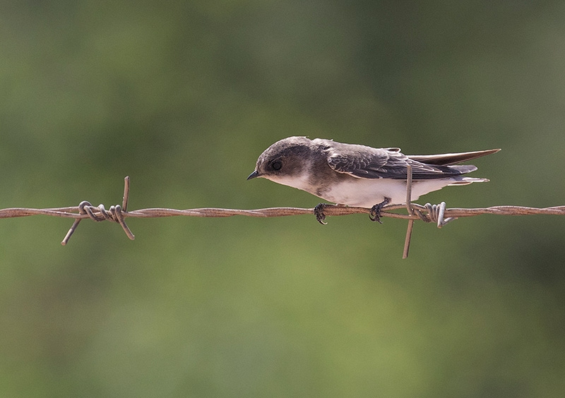 Oeverzwaluw