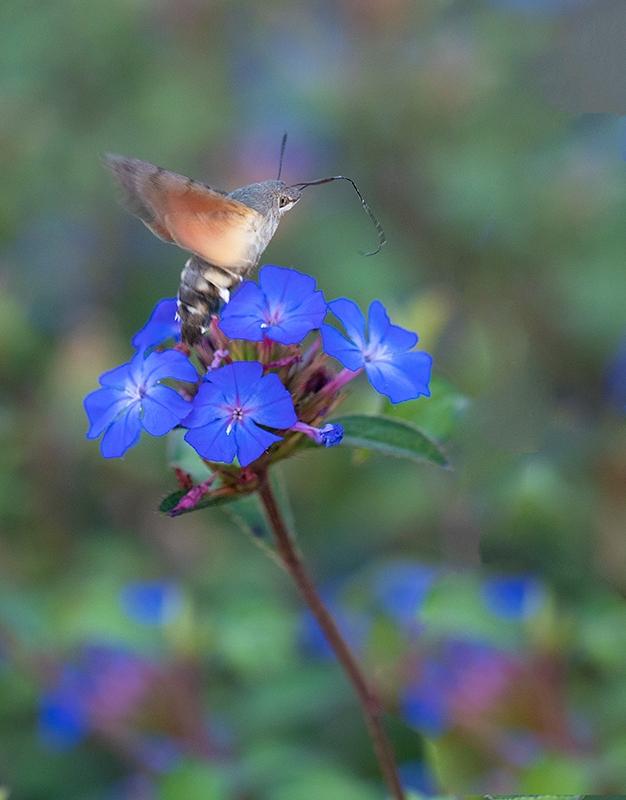 Kolibrivlinder