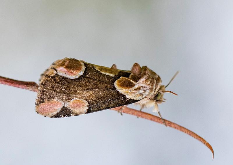 Bramenvlinder